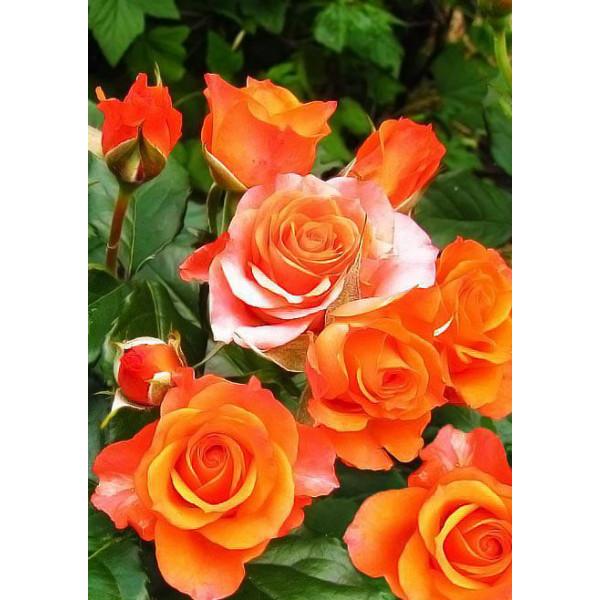 Роза спрей Лайт Оранж