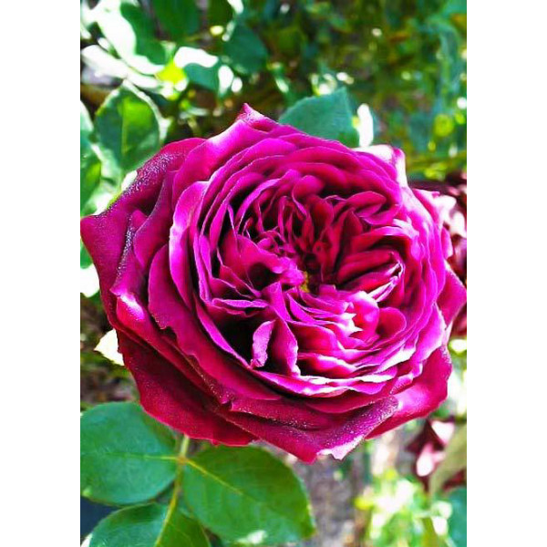 Роза парковая Принц